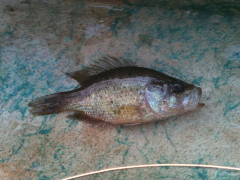 Georgia giant bream for Shell cracker fish